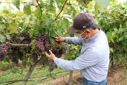 Exportan uva de mesa – Periódico Mi Tierra